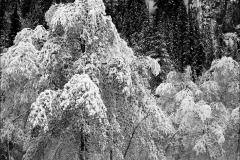 trees-in-snow-sierra-nevada