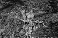 veteran-tree-point-lobos-2016