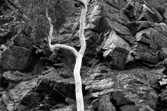ayers-rock-tree