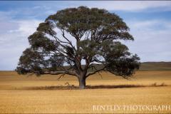tree-near-burra