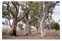 trees-flindrs-2009